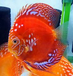Summary: Koi ponds are the ponds which store the Koi fish. These fish are small fishes that look similar to gold fishes. Discus Aquarium, Tropical Fish Aquarium, Discus Fish, Saltwater Aquarium, Tropical Freshwater Fish, Freshwater Aquarium Fish, Beautiful Tropical Fish, Beautiful Fish, Acara Disco