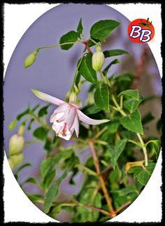 Küpe çiçeği... Kulaklara gelesiye...