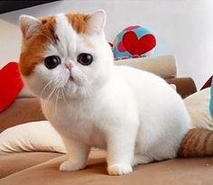 33 Many Munchkins Ideas Munchkin Cat Cats Munchkin Kitten