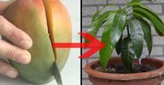 Each child tries to grow a whole tree from an apple seed. In a mango, however, this project is much more difficult - wrongly. Because the trick is very simple. This is how you turn a mango into a whol Indoor Garden, Garden Plants, Indoor Plants, Outdoor Gardens, Diy Garden, Garden Care, Plantar Mango, Container Gardening, Gardening Tips