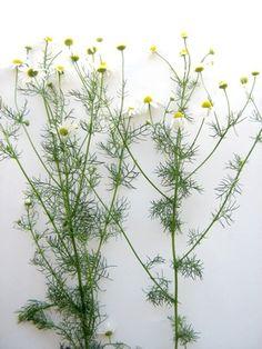rumianek na białym Herbs, Plants, Spices, Education, Diet, Spice, Herb, Plant, Onderwijs