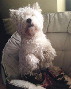 Good evening friends how are you?)) tomorrow again Monday  #westie#westiemoments#westiegram#westies#westieoftheday#westielove#whwt#westhighlandwhiteterrier#dog_features#howimetmypet#инстаграмзверят#dogsofinstagram#dogsofinstaworld#weeklyfluff#exellent_dogs#lacyandpaws#патрончик_батончик#vsco#vscocam#vscorussia#vscodogs#инстаграмнедели#вестик#вестхайлендвайттерьер#worldofcutepets#bestwoof#barkbox#dogsofig#topdogphoto by westie_patrick