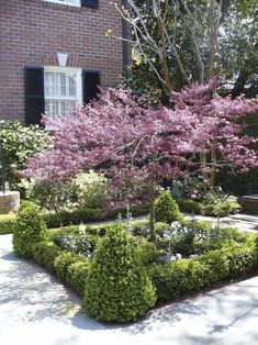 Small scale formal of boxwoods encircling the Japanese Maple as the focal point.