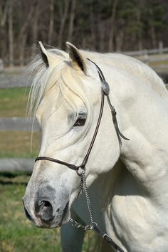 """White horse head shot portrait with long flowing forelock hair, beautiful Arabian stallion """"EC Special Edition aka Solly""""....<3"""