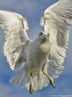 Angel Wings by Harold Begun, via 500px  Camera NIKON D7000  Lens Nikon 70-300 VR  Focal Length 78mm  Shutter Speed 1/3200 sec  Aperture f/7.1  ISO/Film 640  Category Animals  Uploaded About 19 hours ago  Taken November 27th 2011