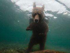 Underwater Dub Step Bear