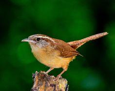Vogel, Natur, Im Freien, Ornithologie, Wald