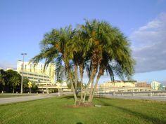 Buy Phoenix Reclinada, For Sale in Orlando, Kissimmee