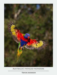 Rainbow Lorikeet in flight