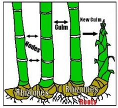 Bamboo cuttings are a form of vegetative propagation that uses part of a parent plant to produce a new plant. There are three relatively easy methods of bamboo cuttings; root mass divisions, rhizome cuttings, and culm burial. Each method has different moisture and soil requirements as well.