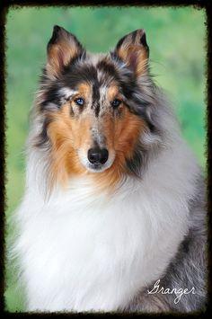 My friends Blue Merle Rough Collie, love him :)