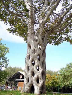"As a hobby, bean farmer Axel Erlandson shaped trees – he pruned, bent, and grafted trees into fantastic shapes and called them ""Circus Trees."" For example, to make this ""Basket Tree"" arborsculpture, Erlandson planted six sycamore trees in a circle and then grafted them together to form the diamond patterns."