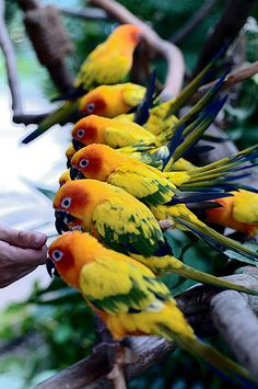 Sun parakeets. Medium-sized brightly colored parrot native to north-eastern South America.