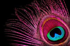 pretty pink peacock pictures - Yahoo Search Results