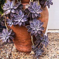 "813 Likes, 6 Comments - The Succulent Source (@thesucculentsource) on Instagram: ""Feeling purple today Pic @petitegardens #thesucculentsource #succulentlove #succulentgarden…"""