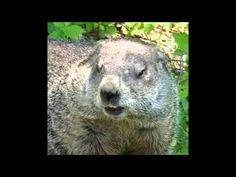 Marmotte Chiante - Insultes diverses - EP.01 Ferret, Animals, Animais, Animales, Animaux, Ferrets, Animal, Dieren, European Polecat