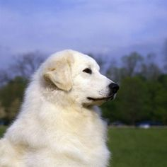 The Kuvasz (pronounced koo-vahs; the plural version of which is Kuvaszok) is a little known Hungarian breed in line with many of the great working dogs of the world. Dog Corner, Labrador Retriever Dog, Dogs Of The World, Working Dogs, Dog Life, I Love Dogs, Dog Training, Dog Breeds, Cute Animals