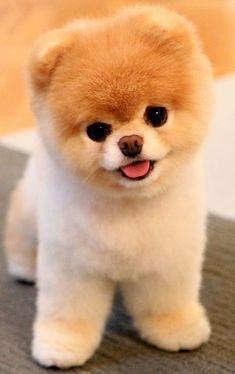 cachorro de grandes ojos y pelaje color miel y blanco