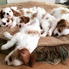 """♥ """"It's naptime everyone, Mom is tired"""". Cavaliers can sleep anywhere!"""