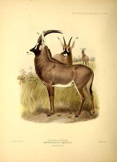Hippotragus niger