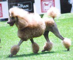 Poodle o Caniche Gigante  Origen: Francia  Carácter: Alegres y activos  Altura : 24 a 60 cm  Peso: 5 a 30 kg