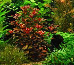 Ludwigia Repens Rubin Red