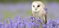 featheroftheowl:  Barn Owl and Bluebells by tuftytowers