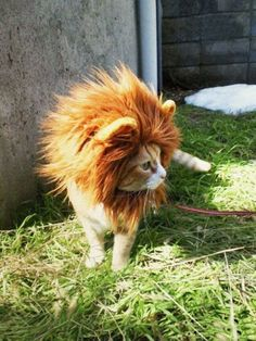 Lion Cat #pets, #cats, #funny, https://facebook.com/apps/application.php?id=106186096099420