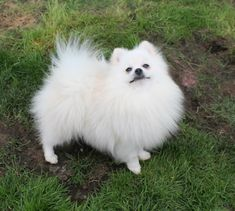 White Pomeranian Puppies, French Bulldog Puppies, Dogs And Puppies, Doggies, Pomeranian Breed, Very Cute Puppies, Cute Baby Dogs, Beautiful Dogs, Animals Beautiful