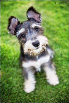 Ranked as one of the most popular dog breeds in the world, the Miniature Schnauzer is a cute little square faced furry coat. It is among the top twenty fav Schnauzer Mix, Miniature Schnauzer Puppies, Schnauzer Grooming, Cute Puppies, Cute Dogs, Dogs And Puppies, Doggies, Love Pet, I Love Dogs