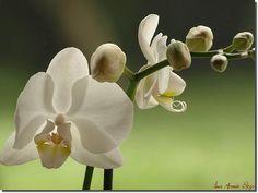 Como cuidar de orquídeas. A orquídea é uma planta que dá uma magnífica flor. É conhecida em quase todo o mundo não só pela sua beleza , como pelas suas inúmeras variedades. Por ter uma...