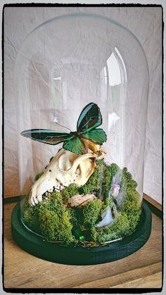 vanité crâne insectes papillons sous globe | cabinets de