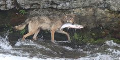 Southwest Alaska wolves eat a lot of salmon, a smart strategy in a fish-rich region when moose and caribou are not easily found, scientists say.