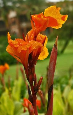 Canna plant in bloom. photo: Dilettante.