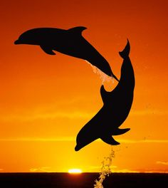 Dolphins leap at sunset in the Bahamas ~ the silhouettes of two bottlenose dolphins are captured against the setting sun in the Bahamas. Photo credit: Barcroft Media