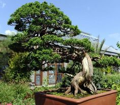 A Shimpaku Juniper at the bonsai exhibit Aug. 15 at the Tower Hill Botanic Garden.