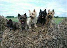 Cairn Terrier Brigade (Scotland)