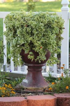Trailing Succulents Are Ideally Suited For Hanging Baskets