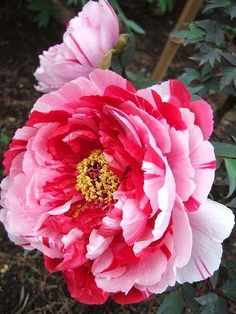Peony - stunning, reminds me of peppermints! :) Anyone know the variety?
