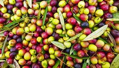 """How to Grow Arbequina Olives. The """"Arbequina"""" olive tree (Olea europaea """"Arbequina"""") not only provides the home landscape with a yearly crop of olives, but also adds beauty with its gray-green leaves and grayish-brown rough bark. """"Arbequina"""" olives thrive in U.S. Department of Agriculture plant ... Arbequina Olive Tree, Olive Press, Olives, Green Leaves, Agriculture, Green And Grey, Yearly, Landscape, Brown"""