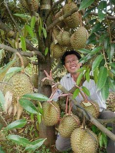 Durian ready for sale