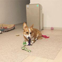 このおもちゃ好きすぎて3〜4本目なんだけど、毎回噛み砕いて食べてる😱💨から、時間決めて与えてる😢ちなみに、ソフト・セミハード・ハード、全部破壊しました٩(^‿^)۶w #corgi #welshcorgi #corgistagram #corgipuppy #corgilove #cute #funny #kawaii #instagood #favorite #break #dog #dogstagram #dogs #lovedogs #instagramdogs #mydog #instadogs #ilovemydog #instadog #コーギー #愛犬 #かわいい #お気に入り #おもちゃ #3本 #リピート