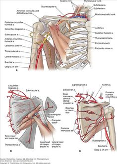 A. Branches of the subclavian and axillary arteries. B. Posterior view of the shoulder arteries. C. Anastomoses of the shoulder arteries.