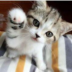 Pinned from Pam Bottomley's board Kitties (https://fi.pinterest.com/pin/AWtjLaxR8MCZA760xw78qn8g8fo3NHj5zoExCGWzHU-_BNg4SsnEW3Y/)