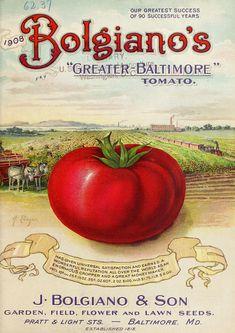 "Bolgiano's ""greater-Baltimore"" tomato"