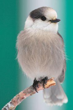 Gray Jay (Perisoreus canadensis). El arrendajo gris es un córvido común de los bosques fríos norteamericanos.