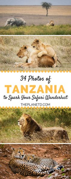 The aim of every African safari is to spot as much wildlife as possible. Lions, elephants, giraffes, leopards, cheetahs, and hippos... almost every animal sighting is exciting in Africa. Here are 34 pictures from our last safari in Tanzania in order to spark your safari wanderlust. | Blog by the Planet D #BucketList #Safari