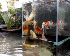hồ cá koi mini - thiết kế hồ cá koi