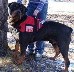 This Rottweiler Service Dog. Fascinated by service dogs--I really want to train a dog for search and rescue some day. Rottweiler Funny, Rottweiler Training, Rottweiler Puppies, Dog Training, Training Tips, Rotten, German Dog Breeds, Search And Rescue Dogs, Work With Animals