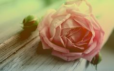 Withered peach rose (2560x1600, peach, rose)  via www.allwallpaper.in